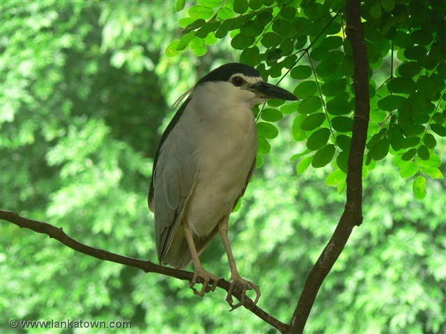 Night Heron Sent in by Udaya Amaradasa